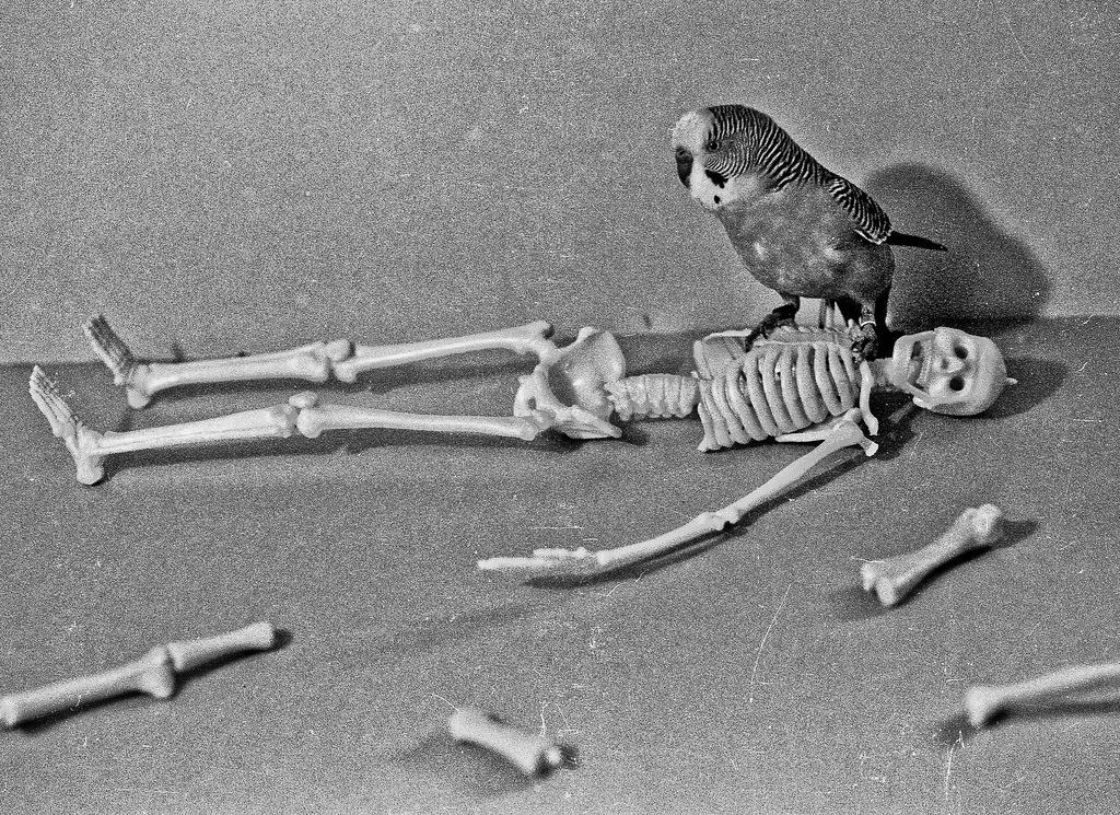 Parakeetus gigantia late 1950's Our pet parakeet co-operated for this staged photo with my model skeleton.