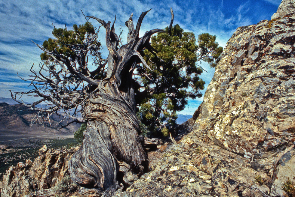 Ancient Tree - Oct 1979 Northern Nevada desert. (scanned color slide)