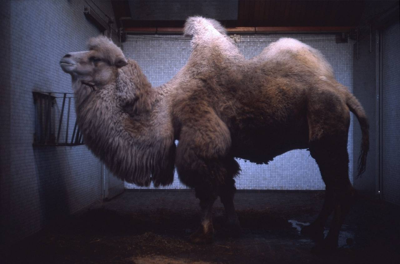 Bactrian Camel: London Zoo - Regent's Park - December 1967