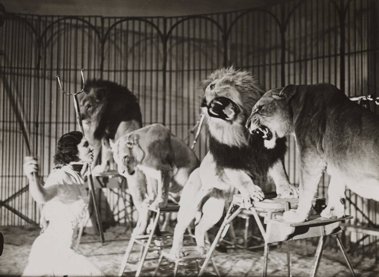 Undated photograph of a lion-tamer at Bertram Mills Circus.