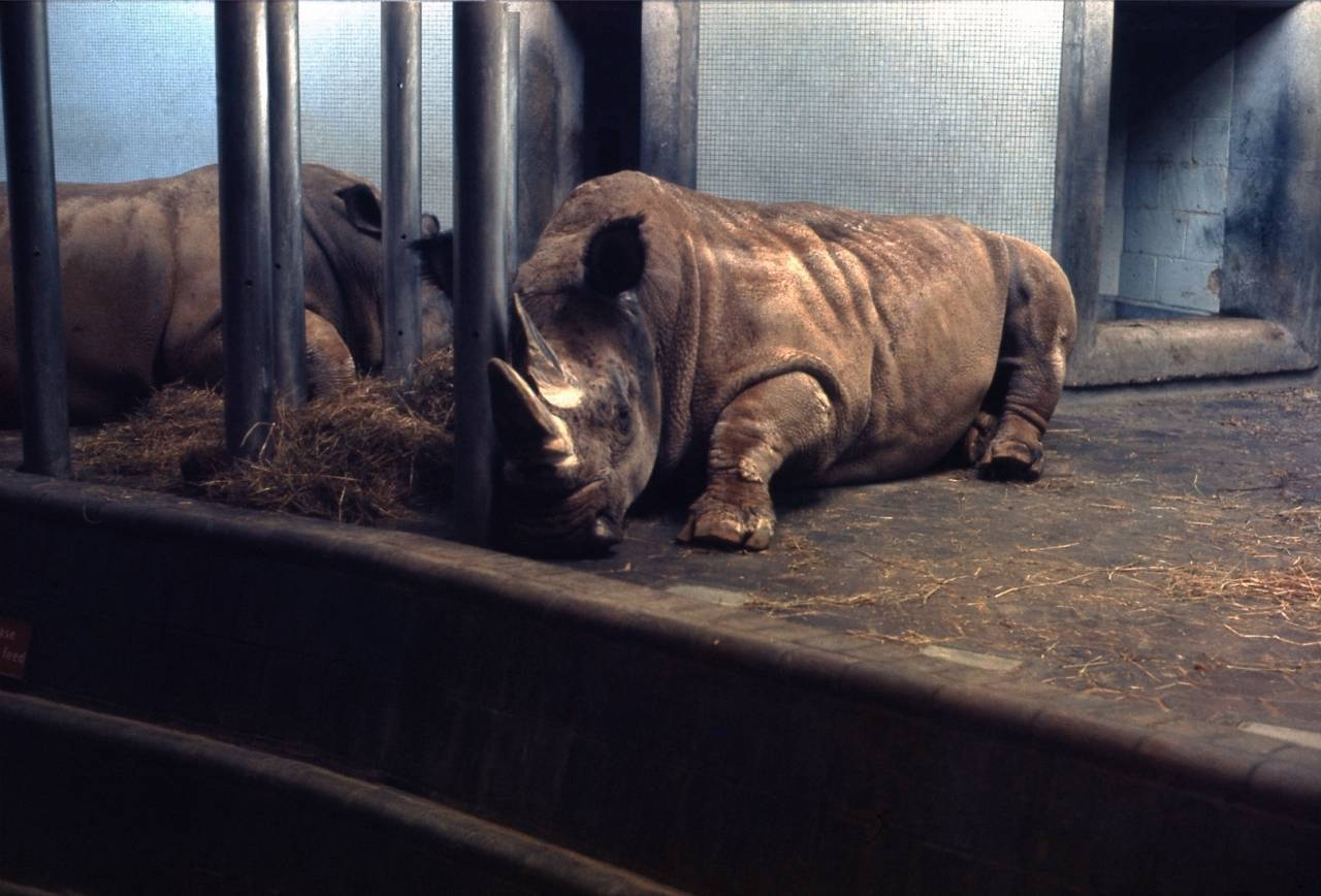 Rhinoceros Exhibit 2: London Zoo - Regent's Park - December 1967