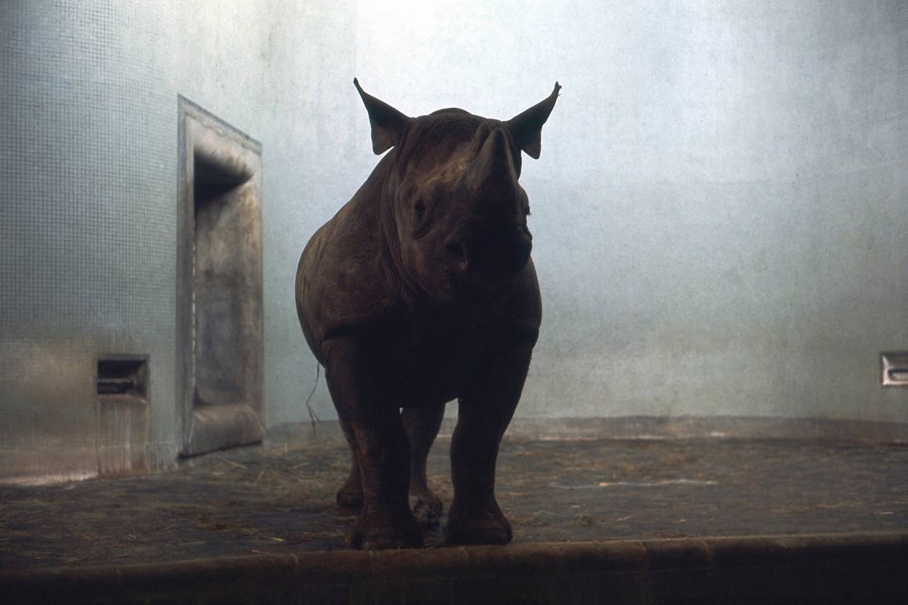 Rhinoceros Exhibit: London Zoo - Regent's Park - December 1967.