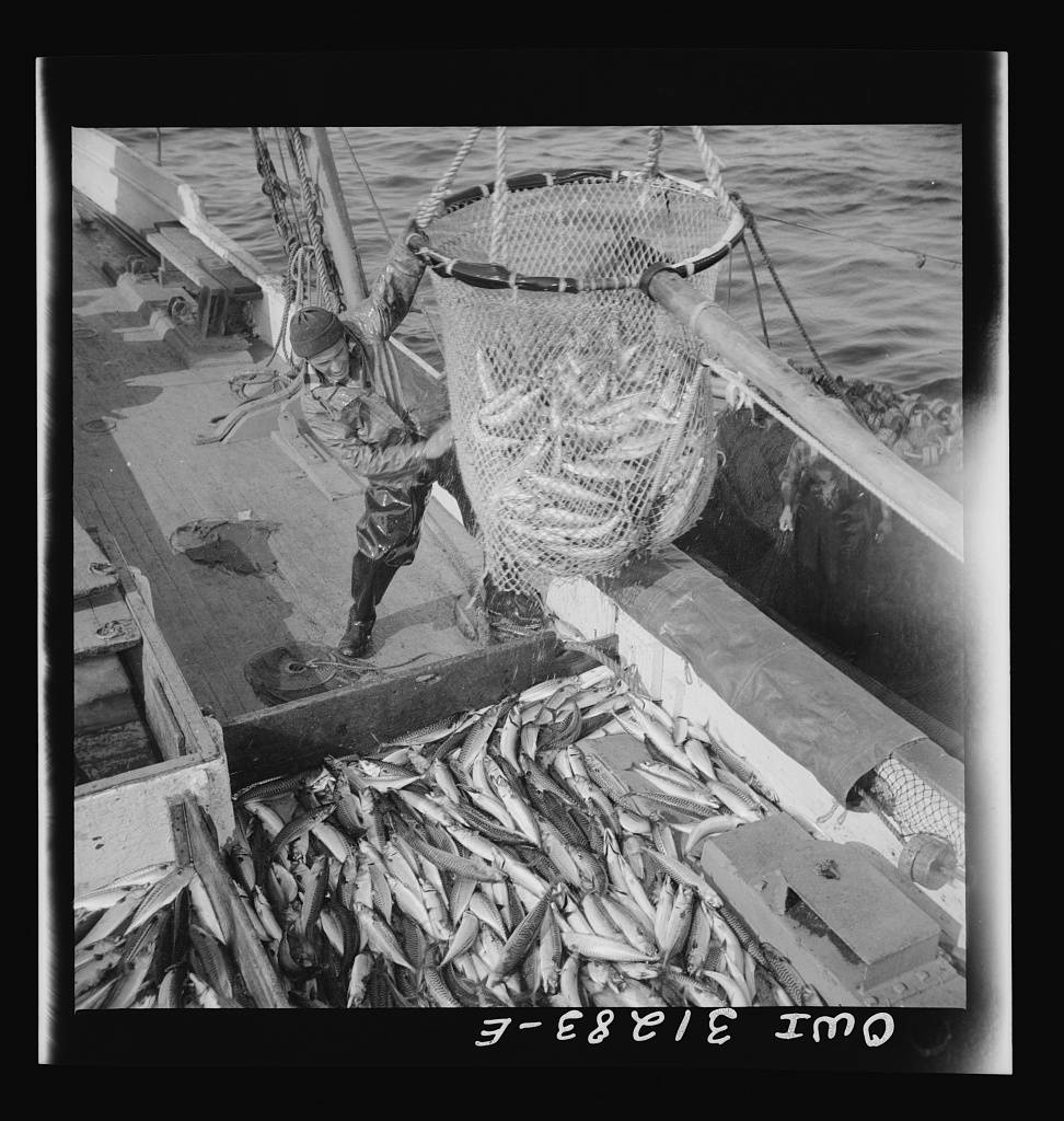 Large dip net transferring mackerel from nets to the Alden deck. Gloucester, Massachusetts