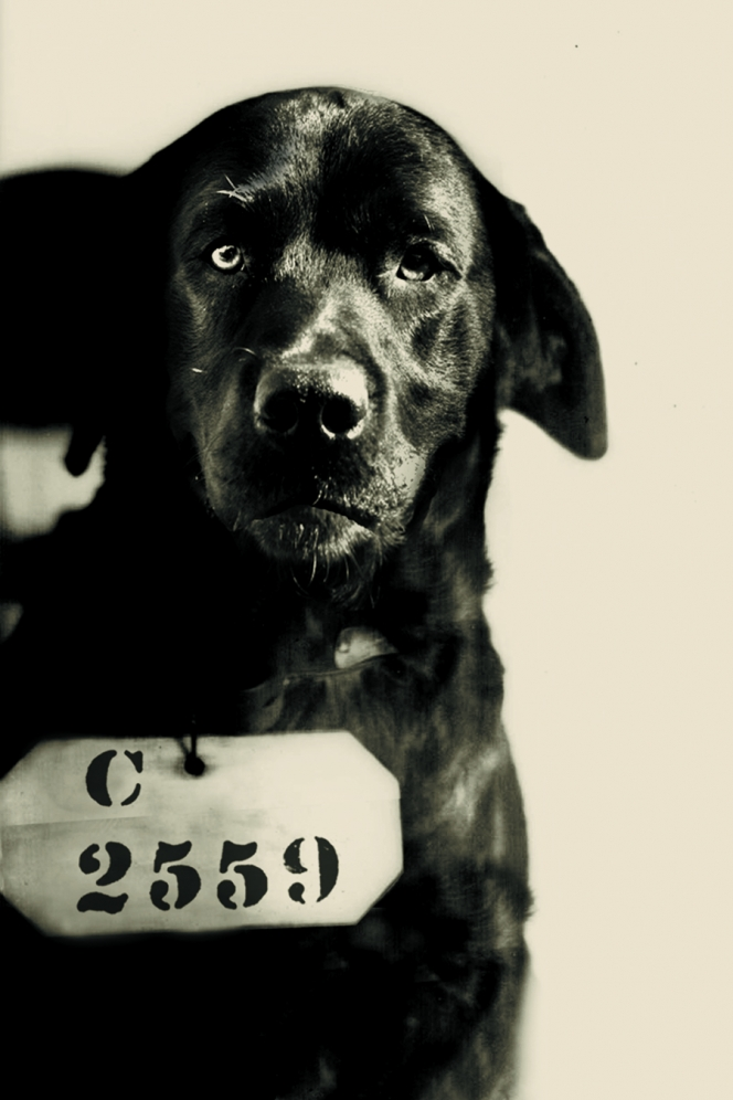 "Pep ""The Cat-Murdering Dog"" was a black Labrador Retriever admitted to Eastern State Penitentiary on August 12, 1924. Prison folklore tells us that Pennsylvania Governor Gifford Pinchot used his executive powers to sentence Pep to Life Without Parole for killing his wife's cherished cat. Prison records support this story: Pep's inmate number (C-2559) is skipped in prison intake logs and inmate records. The Governor told a different story. He said Pep had been sent to Eastern to act as a mascot for the prisoners. He and the Warden, Herbert ""Hard-Boiled"" Smith, were friends. Pep was much loved, and lived among the inmates at Eastern State for about a decade. While the truth may never be known, in photographs Pep—with his head down and ears back--looks GUILTY."