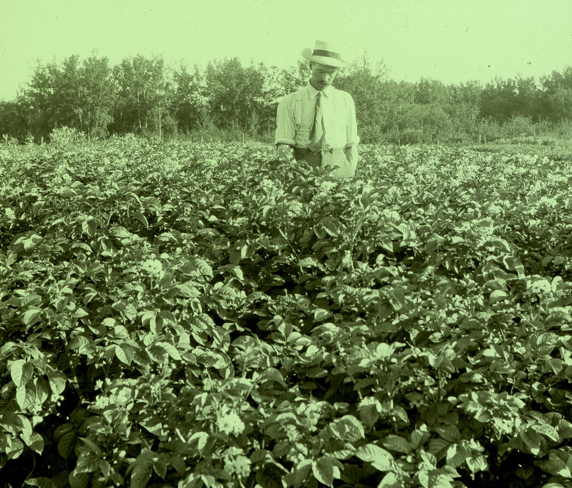 William McCalla standing in potato garden