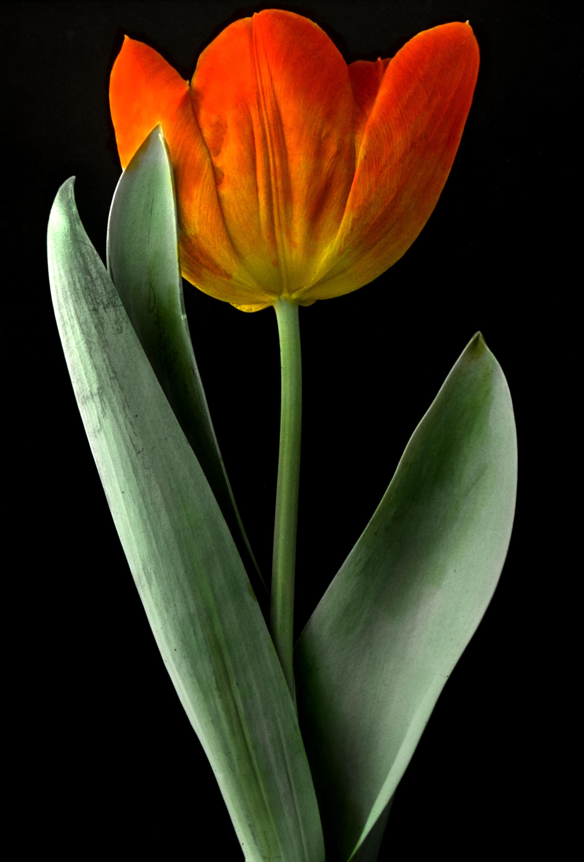 Early Single Tulip