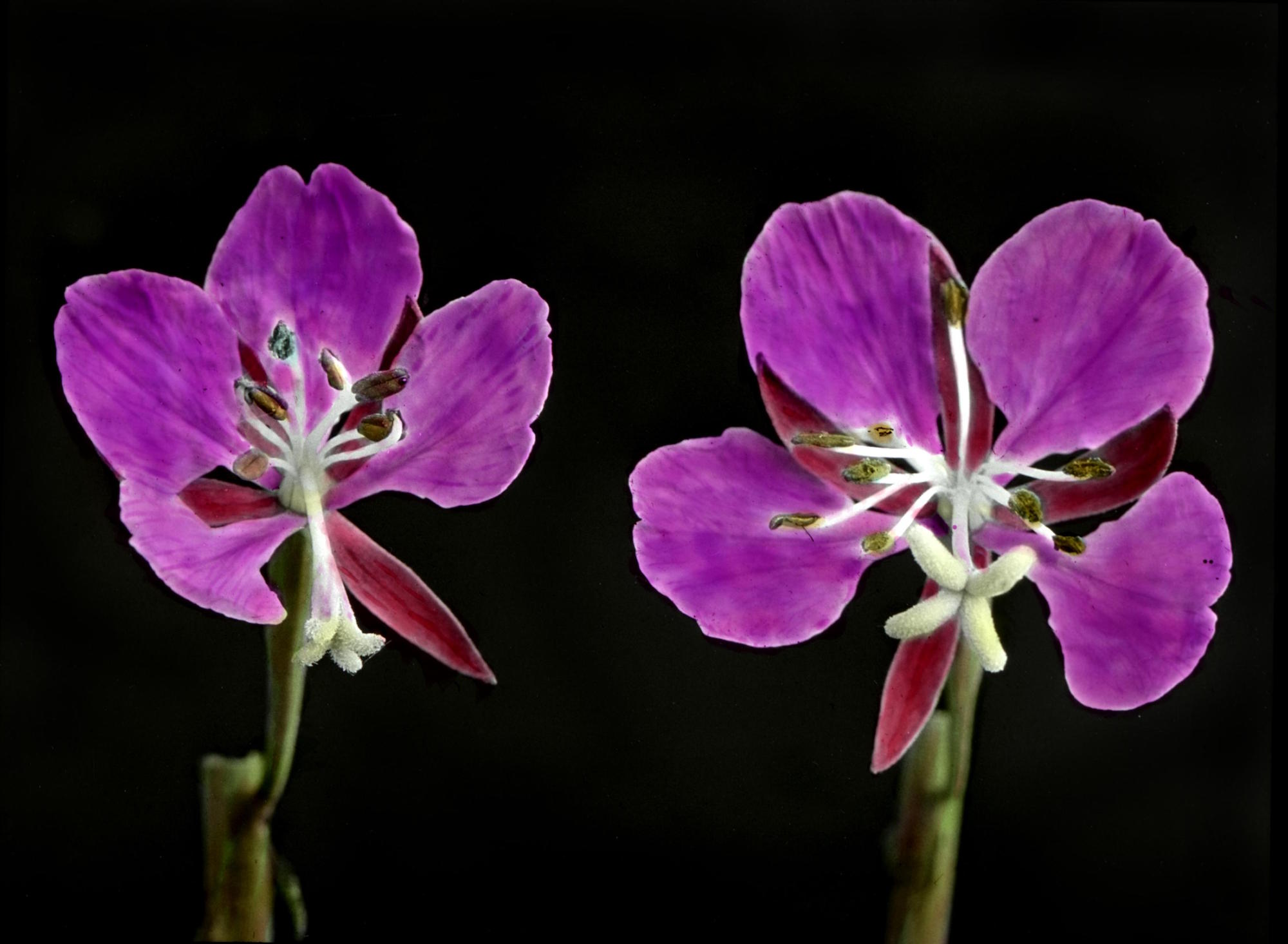 Fireweed blossoms in middle stage of bloom