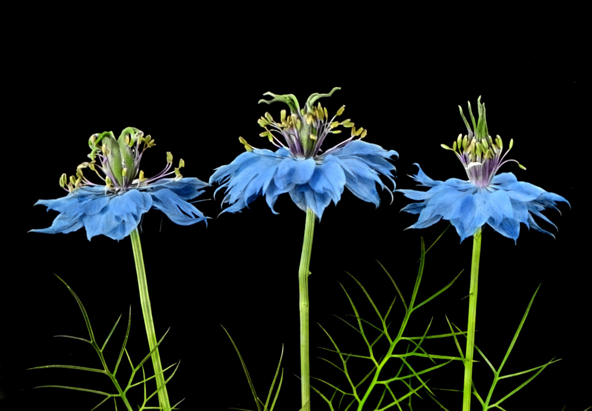 Love-in-a-Mist: Flowers in 3 stages; youngest at right, to show change in position of pistils