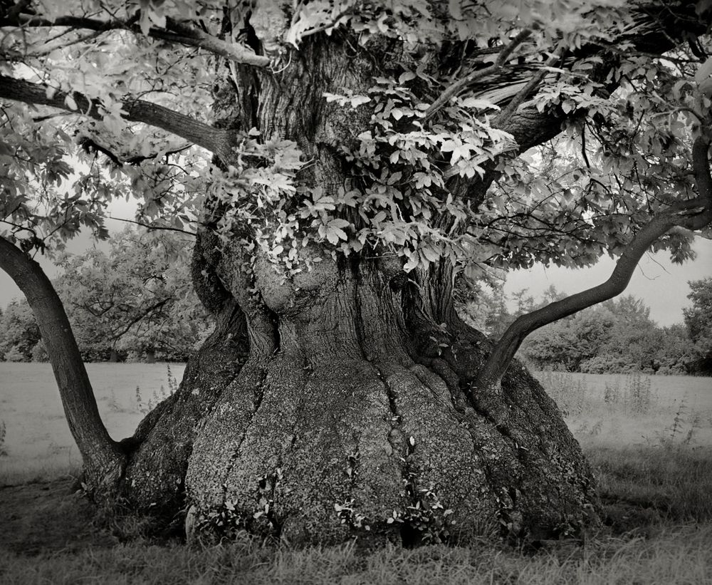 Croft Chestnut. in the grounds of Croft Castle in the Welsh Marches is between 400 and 500 years old