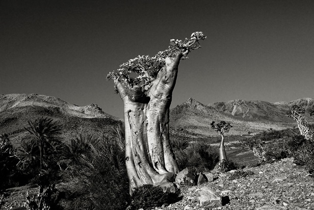 desert rose tree Socotra