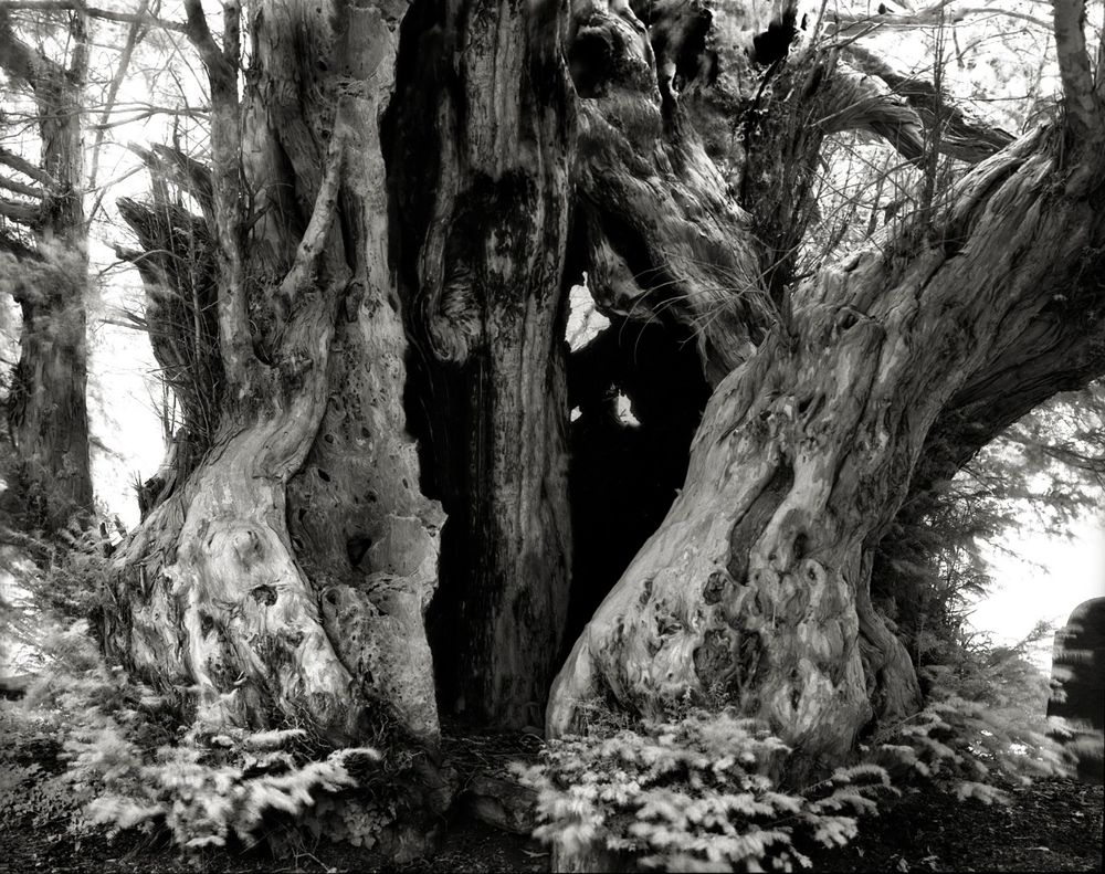 Linton yew, he largest of two old yews in St Mary's churchyard, Herefordshire