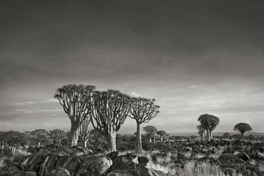 quiver-trees-at-dusk South Africa
