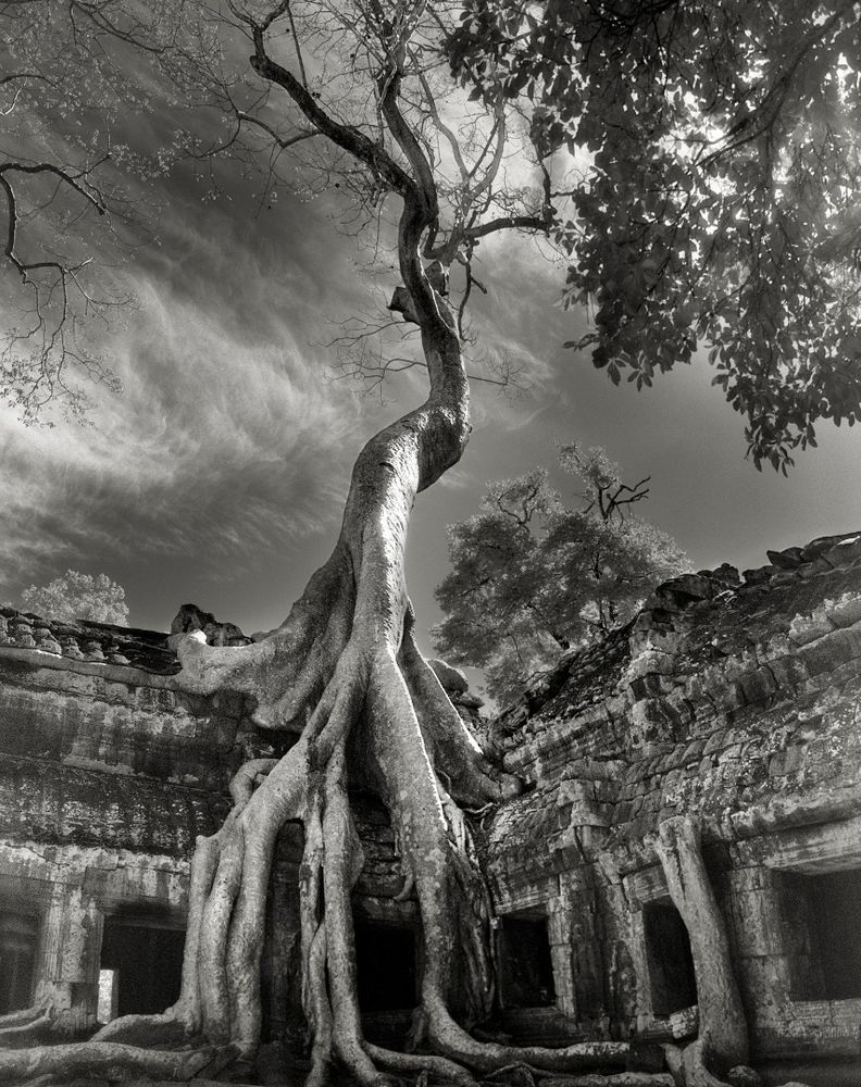 Rilke's Bayon, Tetrameles nudiflora, in Ta Prohm, Siem Reap Province, Cambodia Today, the late 12th-century Buddhist temple of Ta Prohm stands in a semiruined state among forests and farmland. The structure is straddled by immense Tetrameles whose serpentine roots pry apart the ancient stones in a desperate journey to find soil. The temple provides a striking example of what the untamed tropical forest will do to even the mightiest monument when human hands are withdrawn. Launch Gallery