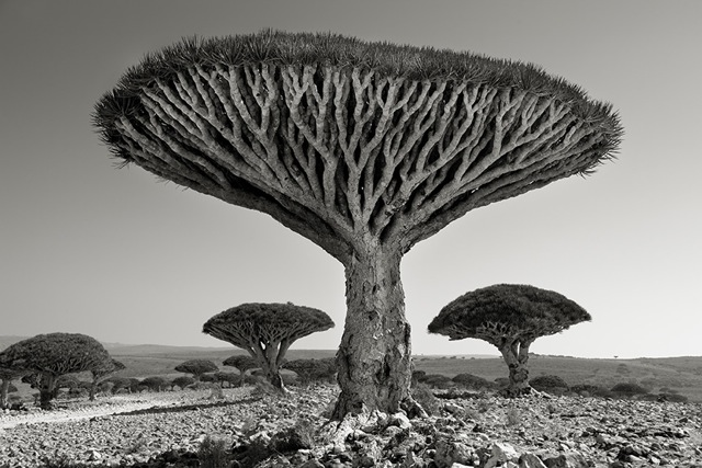 Dragon heart tree Socotra