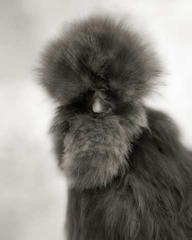 GRAY SILKIE