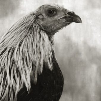 Augurs And Soothsayers: Glory To The Ancient Chicken
