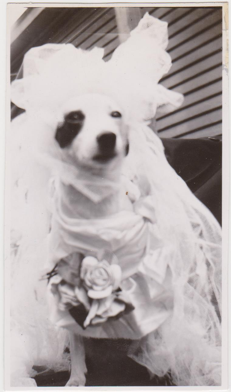 june brides snapshots dog wedding dress