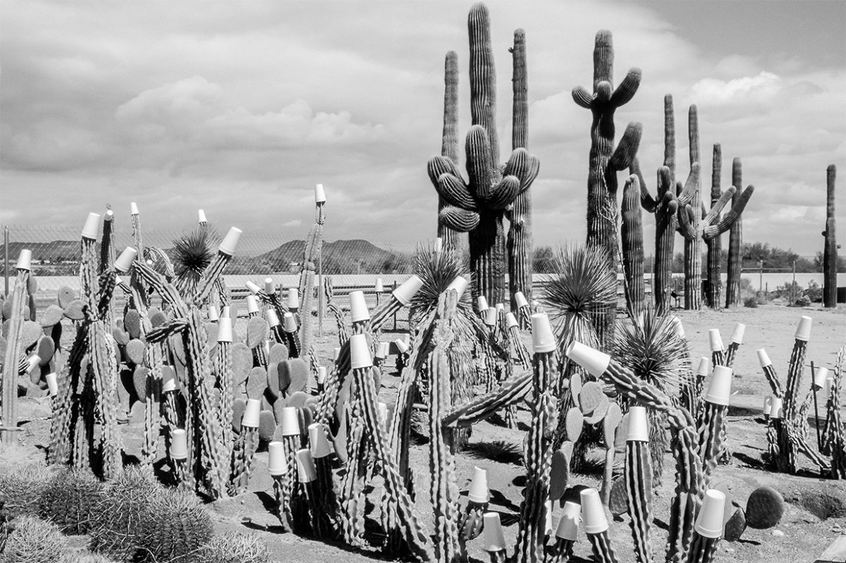 Winter cactus garden. Paper cups to protect against night frosts, 1992 Arizona USA