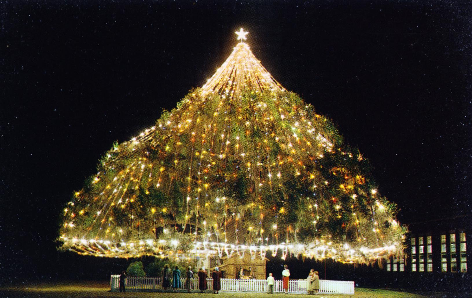North Carolina World's Largest Living Christmas Tree Wilmington NC This three hundred year Live Oak is lighted with 4,000 multi-colored bulbs, and is viewed each December by a quarter of a million persons. Its limb spread is 110 feet and heights 55 feet.
