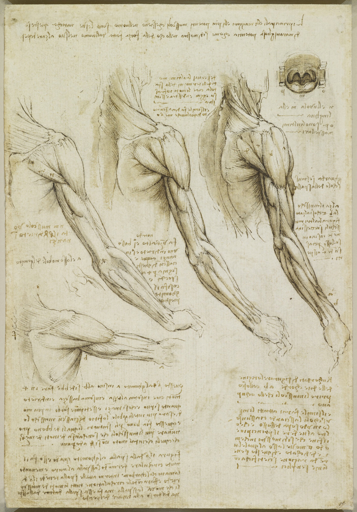 The muscles of the arm, and the veins of the arm and trunk. da vinci