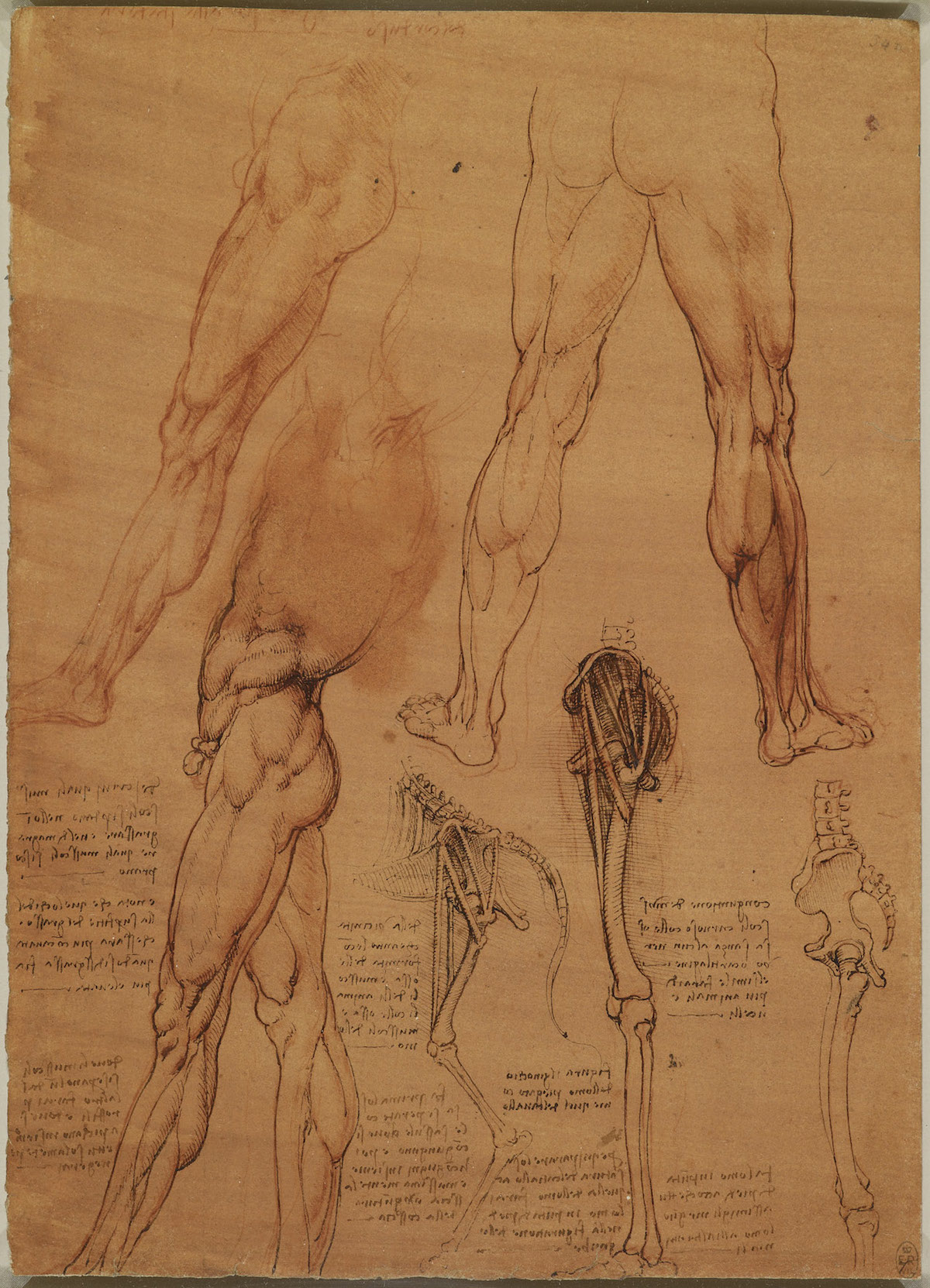 The leg muscles and bones of man and horse c.1506-8