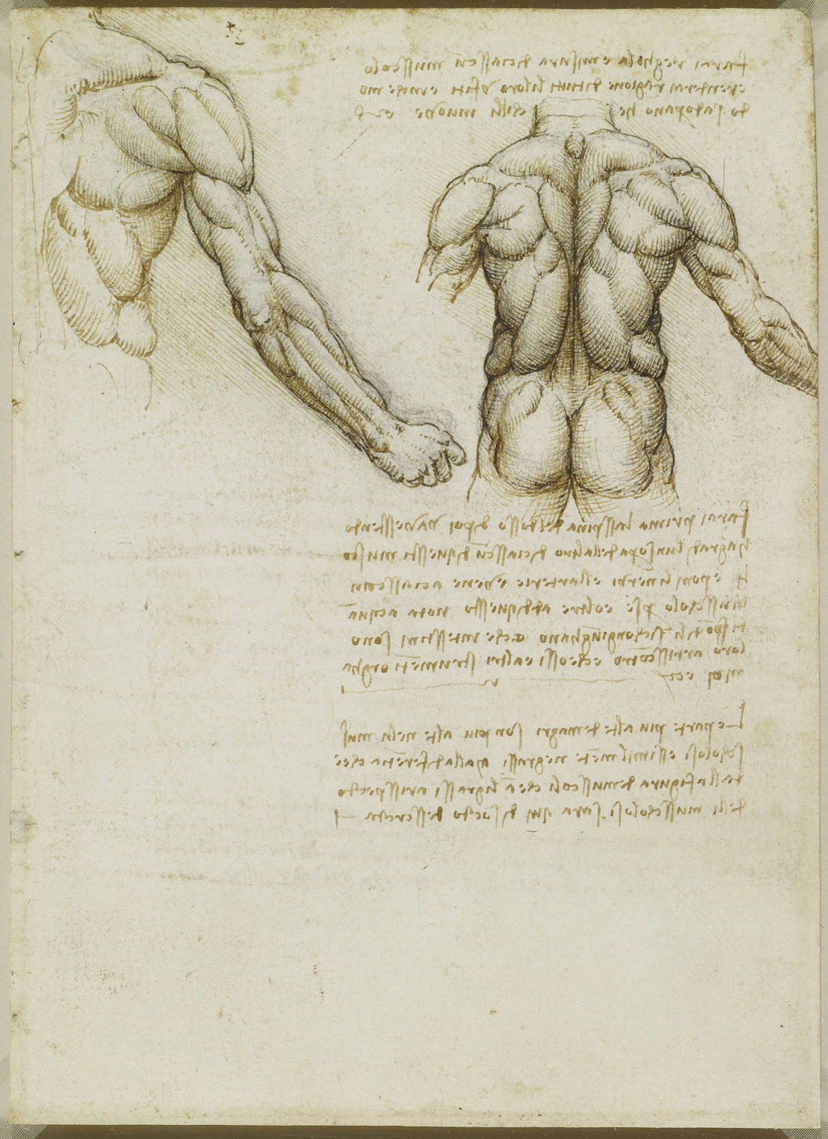 The muscles of the back and arm. Verso: Studies of the intercostal muscles c.1508