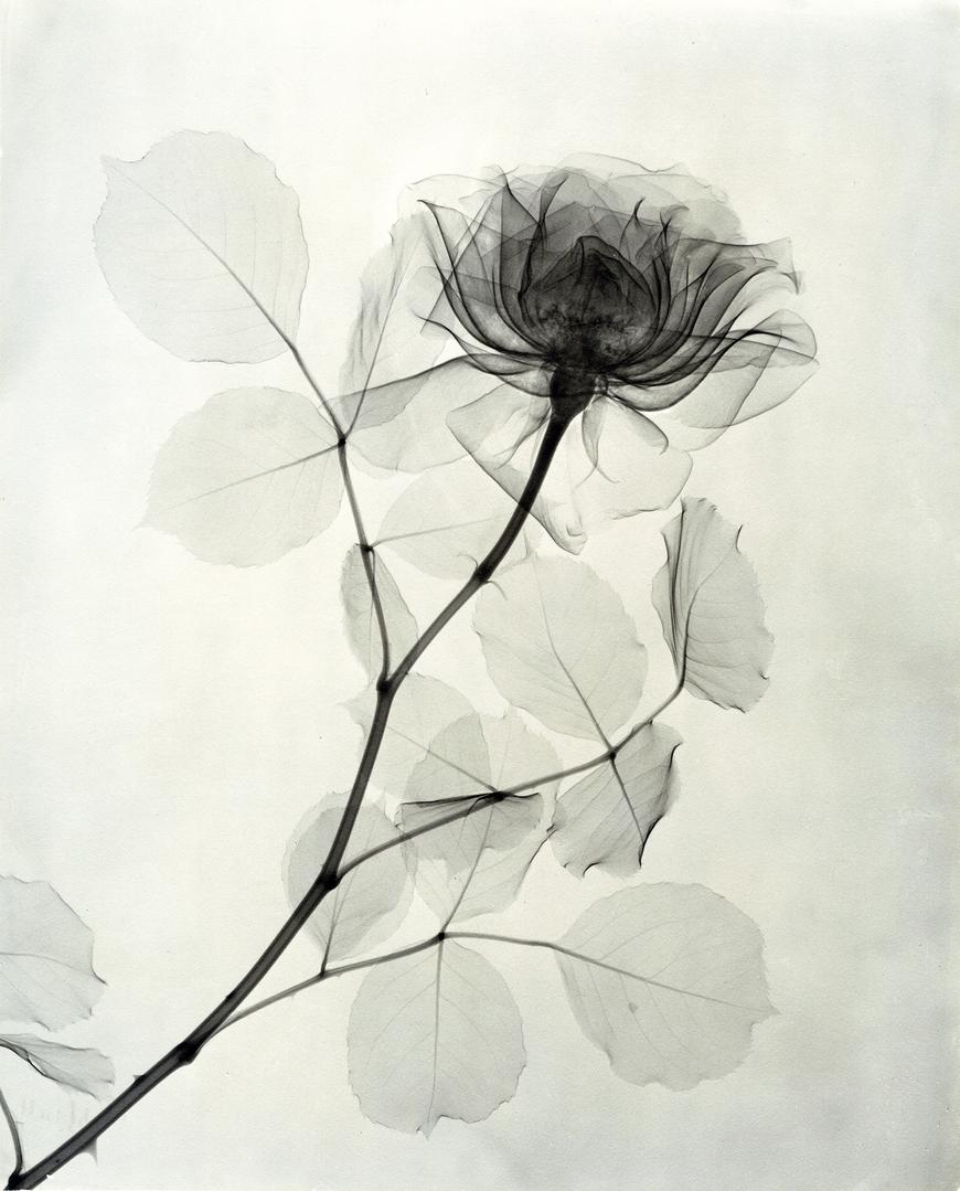 """""""A Rose,"""" 1936, vintage gelatin silver print, 11 1:4 x 9 1:8 inches"""