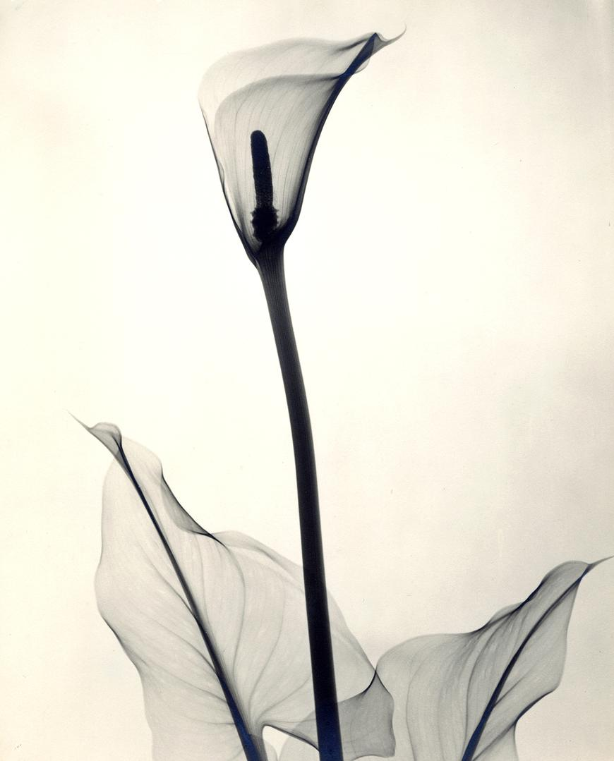 """Yellow Calla Lily,"" 1938, vintage gelatin silver print, 11 3:8 x 9 1:4 inches"