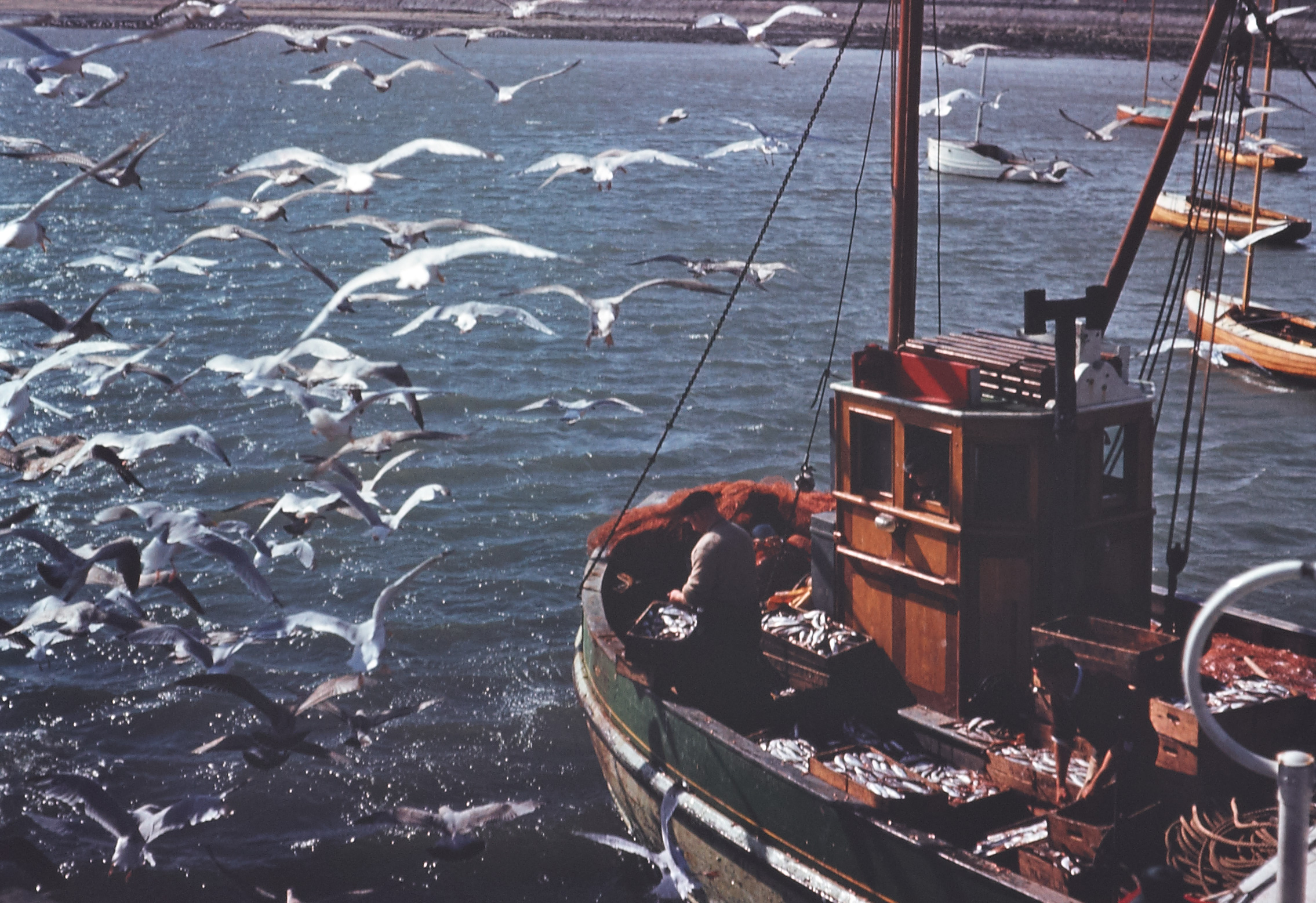 Ireland 1960s, A fishing trawler returning to Skerries, Co. Dublin with a full catch. Local seagulls are having a ball with unwanted fish bits thrown back in by one the fishermen. Date: Circa 1960