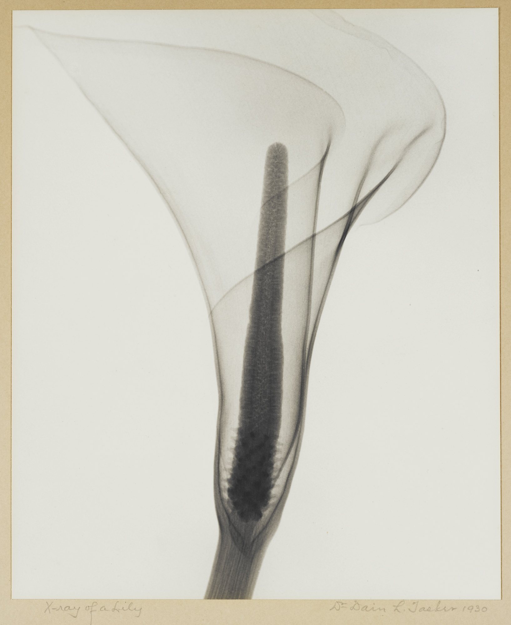 Tasker-X-ray-of-a-Lily-c.-1930s