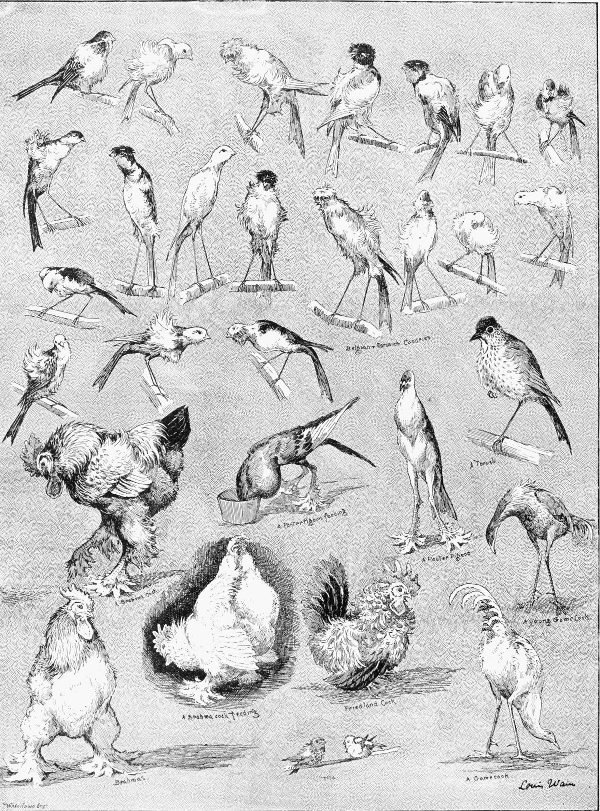 Ornithology, 1889. 'Nature'S Fitful Moments. Sketches At The National Poultry Show, Crystal Palace, And The London Ornithological Society'S Show.' Engraving After Drawings By Louis Wain, English, 1889. Ornithology, 1889.