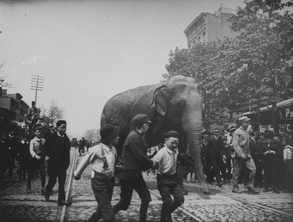 June 1, 1891 An elephant from the Barnes Circus walks down Atlantic Street in Brooklyn.