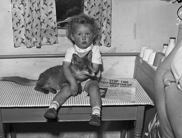 A tame fox cub at home with Mr and Mrs Gordon Jones, Talysarn Teitl Cymraeg/Welsh title: Cadnawes ddof yng nghartre Mr a Mrs Gordon Jones, Talysarn. Ffotograffydd/Photographer: Geoff Charles (1909-2002) Nodyn/Note: Mr and Mrs Jones' son, Heddwyn, sitting on the kitchen table holding the cub. Dyddiad/Date: July 16, 1959