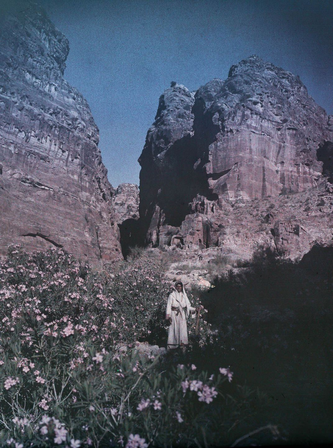 Petra. Oleanders in bloom with figure.""