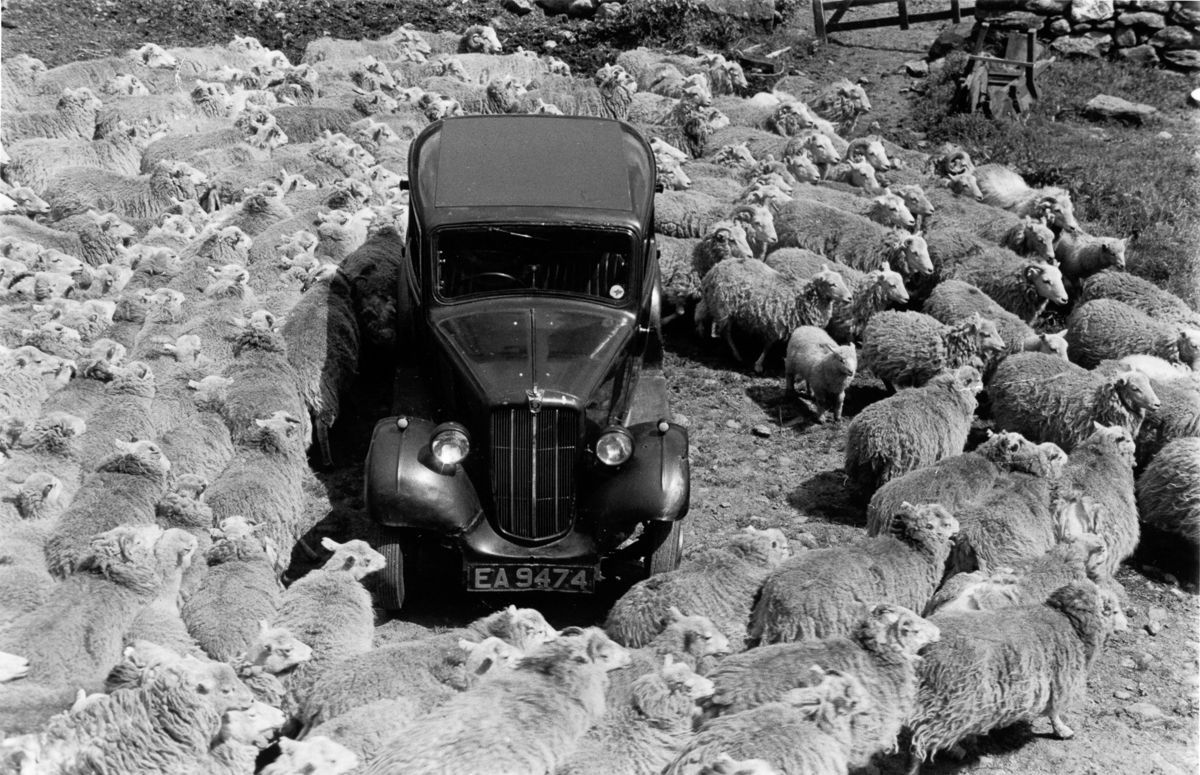 Wales 1951 farm sheep Snowdonia