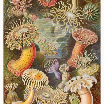 Actiniae , Sea anemones from Ernst Haeckel's Kunstformen der Natur (Art forms of Nature) of 1904.