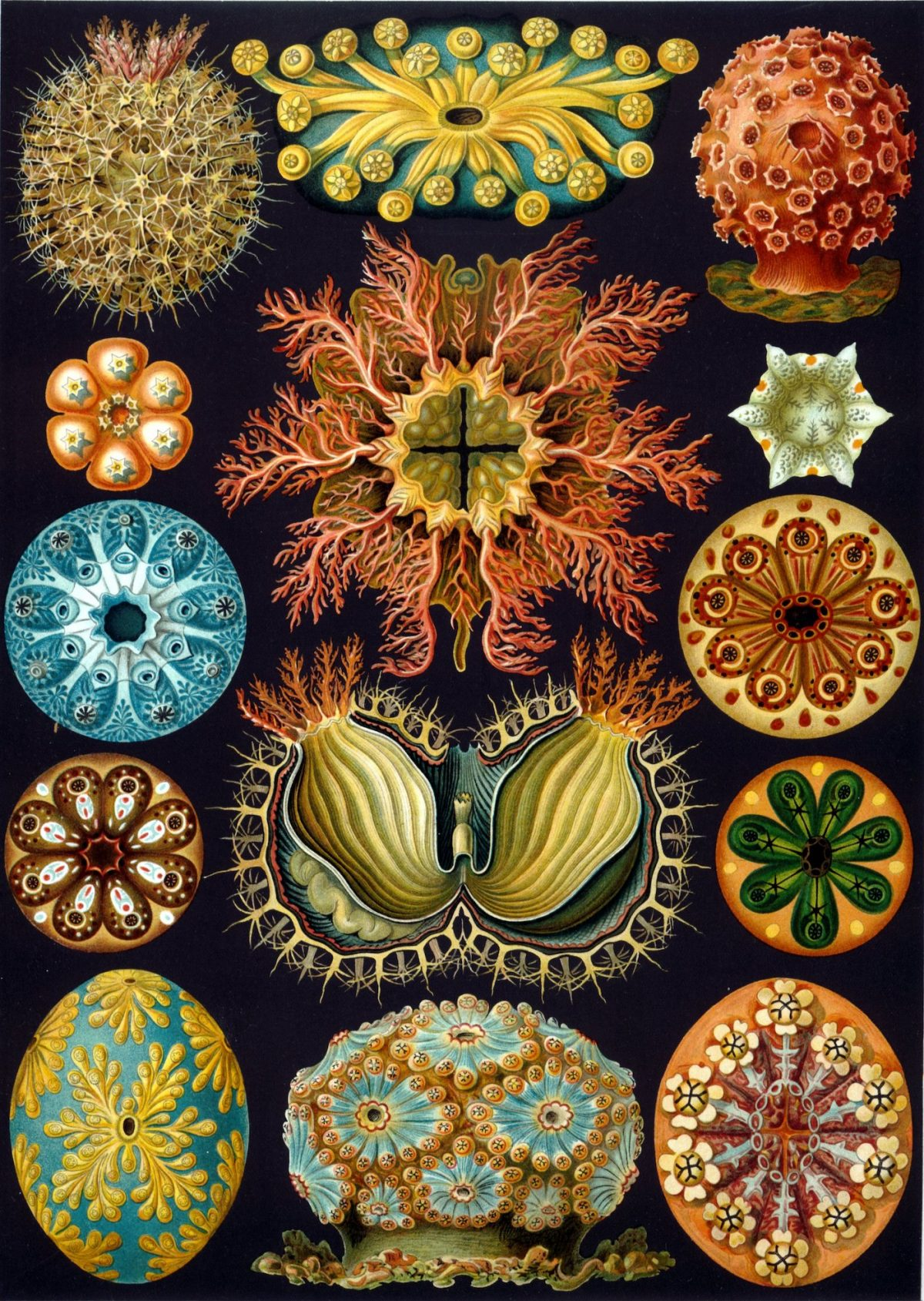 Ernst Haeckel, 'Ascidiae' , Plate 85 from  'Kunstformen der Natur (Artforms of Nature) , published 1904 (via The Library of Congress, Washington DC)