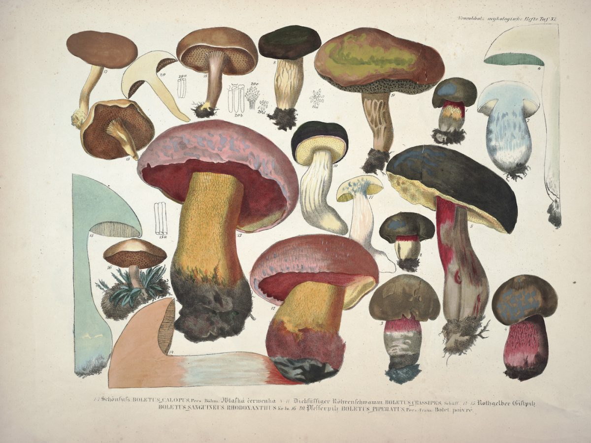 J.V. Krombholz (1782 – 1843), Plate from 'Lifelike Illustrations and descriptions of edible Mushrooms'. Published 1831 (via the Library of The Missouri Botanical Gardens )
