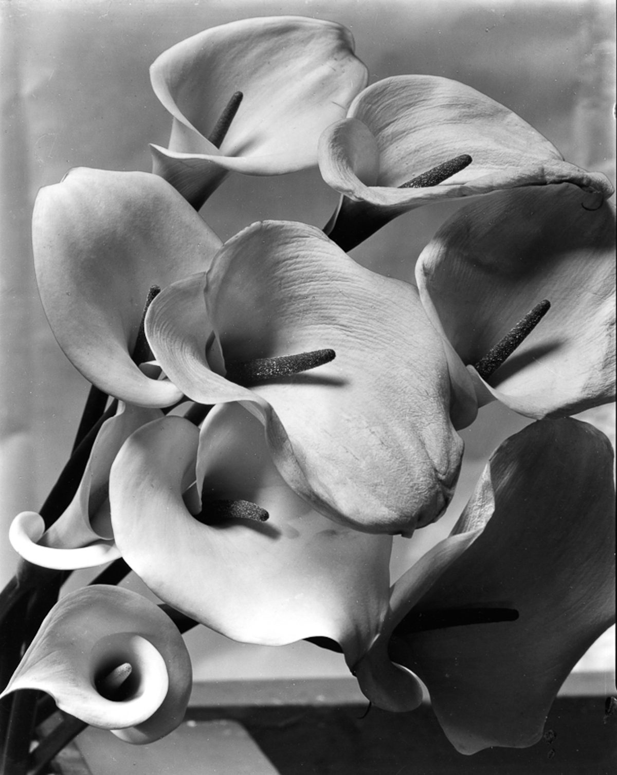 Imogen Cunningham Sublime Close-Up Botanical Photos from the 1920s and 1930s