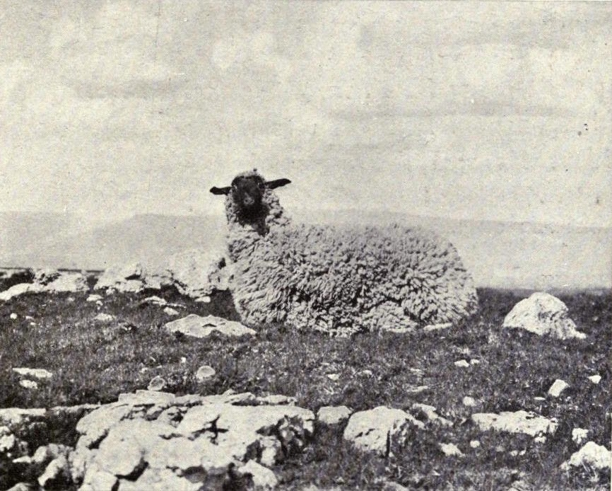 """Stuffed sheep"", from a 1909 edition of Richard Kearton's Wild Nature's Ways"