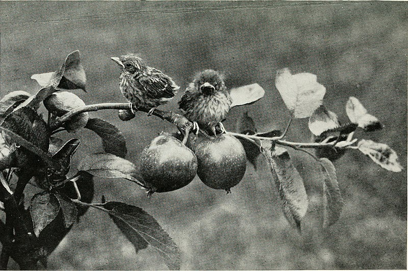 Baby Birds At Home by Richard Kearton, photographs by Cherry and Richard Kearton published by Cassell & Co.. London ,1912 Hedge Sparrows