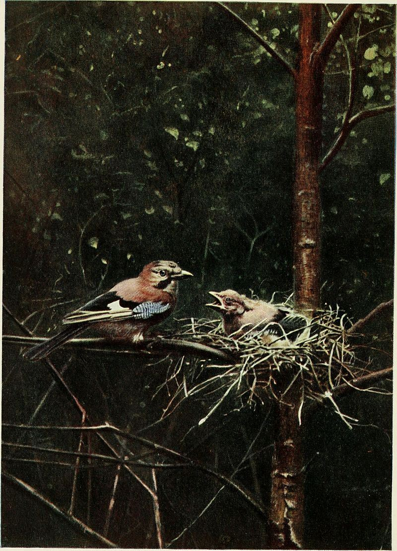 Baby Birds At Home by Richard Kearton, photographs by Cherry and Richard Kearton published by Cassell & Co.. London ,1912 Jays