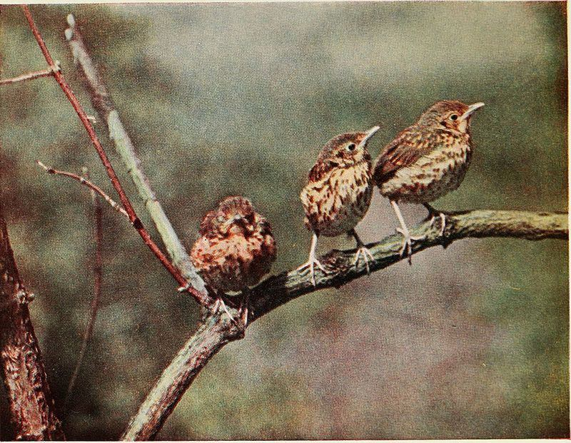 Baby Birds At Home by Richard Kearton, photographs by Cherry and Richard Kearton published by Cassell & Co.. London ,1912 The Song Thrush