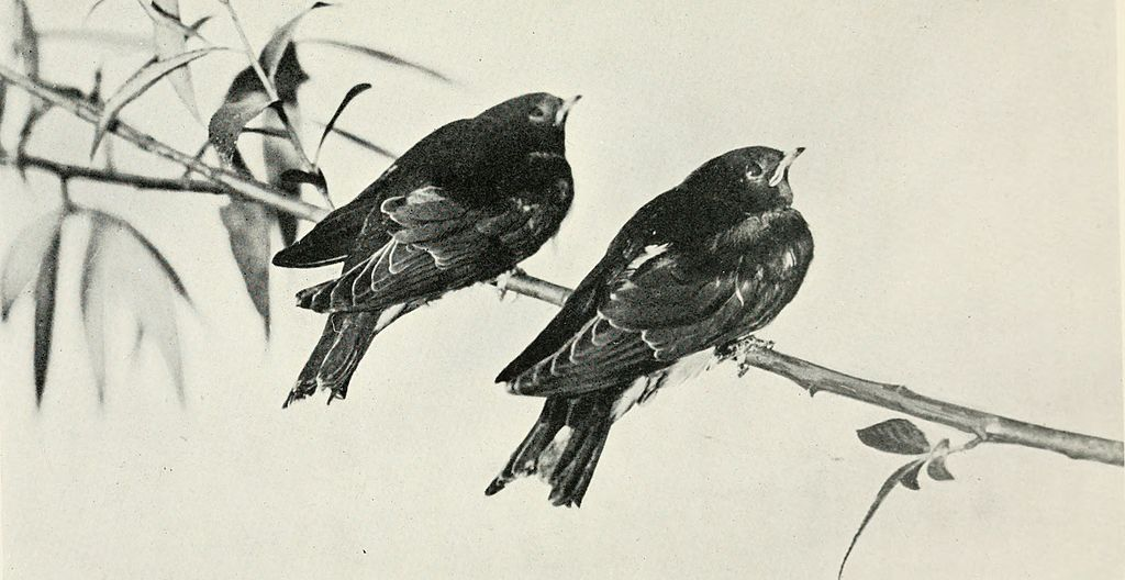 Baby Birds At Home by Richard Kearton, photographs by Cherry and Richard Kearton published by Cassell & Co.. London ,1912 The Swallow