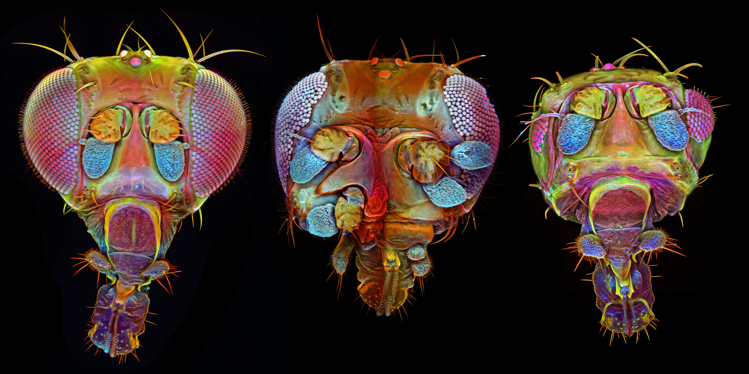 Drosophila (fruit fly) with mutant variations (middle and right images)