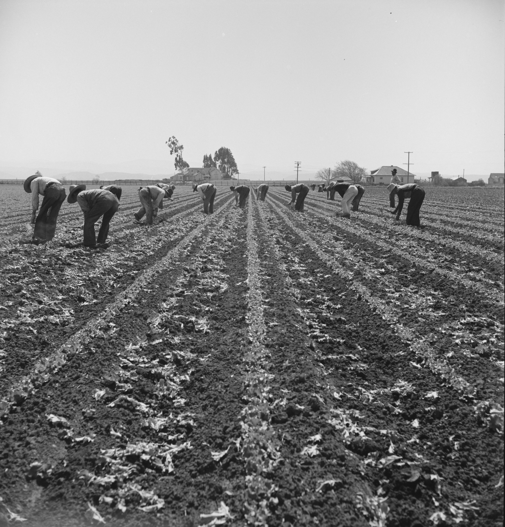 Filipino boys thinning lettuce. Salinas Valley, California Contributor Names Lange, Dorothea, photographer Created / Published 1939 Apr.